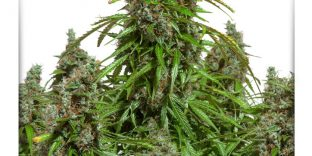 automazar-autoflower-feminized-seeds-dutch-passion_1-1