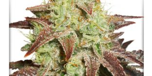 autonight-queen-autoflower-feminized-seeds-dutch-passion_1-1