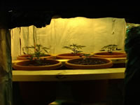 indoor cannabis growing